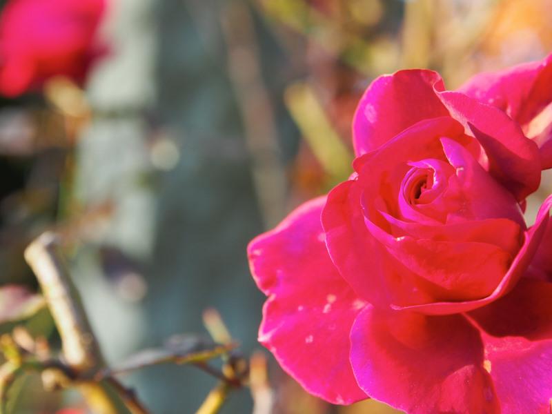 Die letzte Rose für dieses Jahr